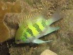 Staghorn Damselfish  Photo and care