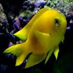 Canary Deep Water Damsel  Photo and care