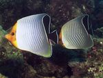 Orange face butterflyfish  Photo and care