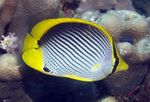 Black backed butterflyfish  Photo and care