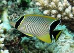 Chevron butterflyfish  Photo and care