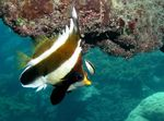 Pennant bannerfish Photo and care