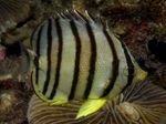 Eight banded butterfly fish Photo and care