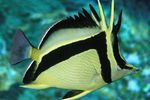Scythe-mark butterflyfish Photo and care