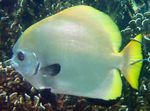 Boers Batfish Photo and care