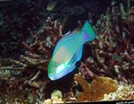 Bleekers parrotfish, Green parrotfish  Photo and care