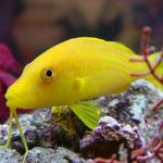 Goldsaddle goatfish (Yellow goatfish) Photo and care