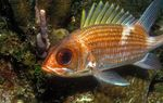 Bloodspot Squirrelfish Photo and care
