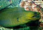 Green Eel  Photo and care