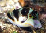 Crown Toby (Crowned Puffer fish)  Photo and care