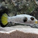 Immaculatus Puffer Photo and care