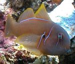 Clown Goby Brown Photo and care