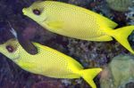 Indonesian coral rabbitfish Photo and care