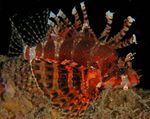 Fuzzy Dwarf Lionfish  Photo and care