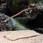 Banded Pipefish  Photo and care