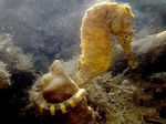 Tiger tail seahorse Photo and care