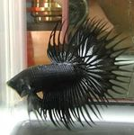 Siamese fighting fish Photo and care