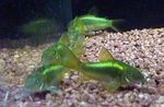 Corydoras aeneus Photo and care