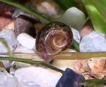 Photo Freshwater Clam Ramshorn Snail (Planorbis corneus), brown