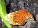 Photo Freshwater Clam Rabbit Snail Tylomelania (Tylomelania towutensis), grey