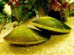 Freshwater Clam Photo and care