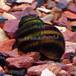 Japanese Trapdoor Snail (Pond) Photo and care