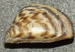 Zebra Mussel Photo and care