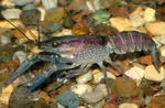 Blue Crayfish Photo and care