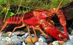 Red Swamp Crayfish Photo and care