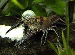 Procambarus Spiculifer Photo and care