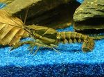 Sly Crayfish Photo and care
