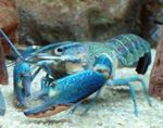 Red Claw Cray (Blue Lobster) crayfish  Photo