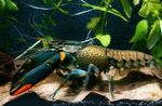 Cherax Lorentzi Photo and care