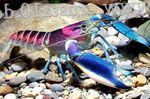 Cherax Hoa Creek Photo and care