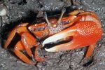 Red Mangrove Crab