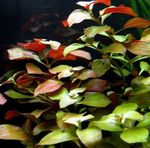 Creeping ludwigia, Narrow-leaf ludwigia Freshwater Plants  Photo