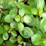 Creeping ludwigia, Narrow-leaf ludwigia Photo and care