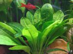 Black Amazon Sword Freshwater Plants  Photo