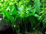 Lance Spearhead Freshwater Plants  Photo