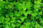 Golden Moneywort Freshwater Plants  Photo