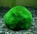 Japanese Moss Ball Photo and care