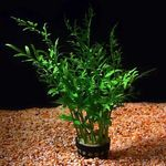 Indian fern Freshwater Plants  Photo