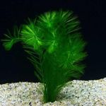 Myriophyllum elatinoides Freshwater Plants  Photo