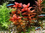Giant Red Rotala Freshwater Plants  Photo