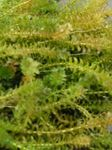 Canadian Pond weed Freshwater Plants  Photo