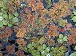 Fairy Moss Azolla Freshwater Plants  Photo