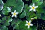 Nymphoides humboldtiana Freshwater Plants  Photo
