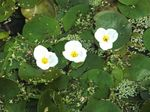 European Frog-Bit Freshwater Plants  Photo