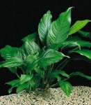 Anubias congensis Freshwater Plants  Photo