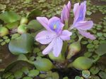 Water hyacinth Photo and care